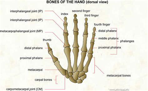 small bones skeleton and bones human part series article most