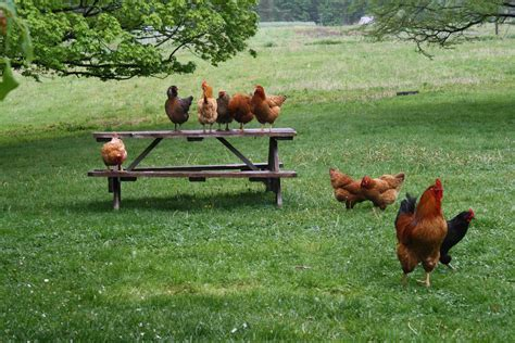 How To Take Care Of Backyard Chickens by Chicken School Somethinggoodintheworld
