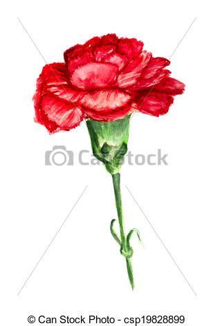 illustration de rouges oeillet watercolor image de
