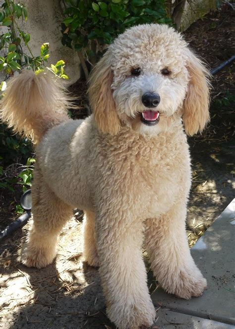poodle mix dog hair cut 25 best ideas about goldendoodle haircuts on pinterest