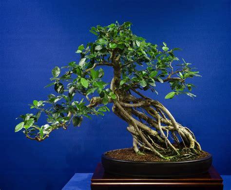 styling  ficus bonsai empire