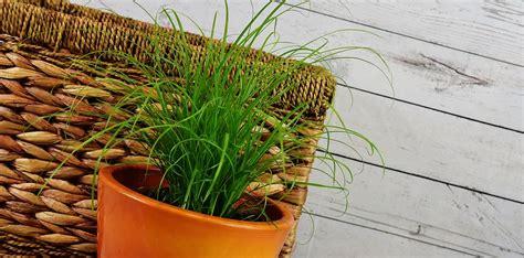 erba cipollina in vaso erba cipollina come coltivarla in vaso o nel giardino di casa