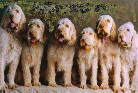 spinone italiano puppy directory of dogs spinone italiano facts