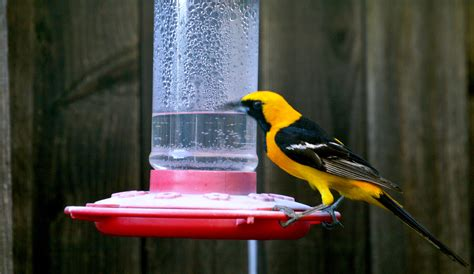 what s this pretty yellow bird with black wings breast