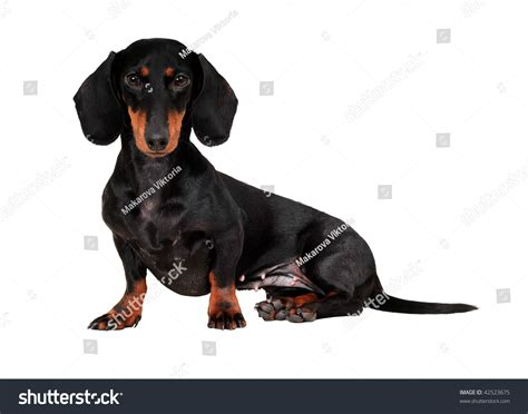 Black And Brown Black Brown Dachshund Isolated On Stock Illustration