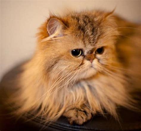 foto dei gatti persiani gatto persiano carattere e prezzo idee green