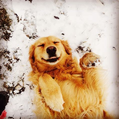 snow golden retrievers 25 reasons golden retrievers are actually the worst dogs to live with