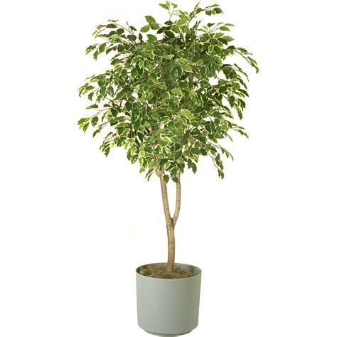indoor fig tree www imgkid com the image kid has it
