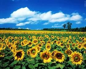 sunflower fields sunflower hd wallpapers