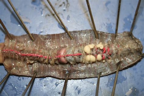 earthworm dissection earthworm dissection flickr photo