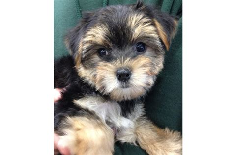 yorki maltese mix puppies the house etc