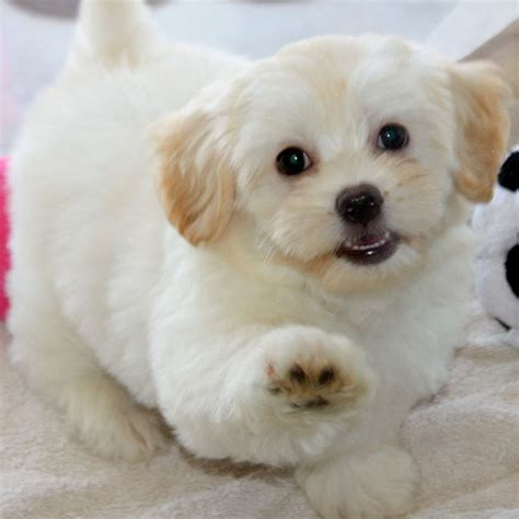 shihpoo puppy 1000 images about shih poo on shih poo puppys and pictures