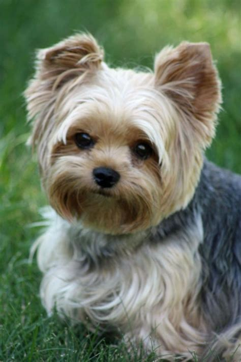 yorkie puppy cut morkie puppies how to cut hair breeds picture
