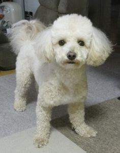 bichon poo haircuts 1000 images about dog on pinterest creative grooming