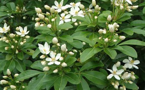fragrant flowers mexican orange blossom choisya ternata - White Flowering Evergreen Shrubs