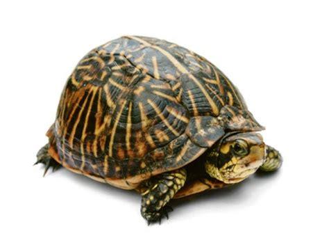 tutorial gambar kura kura siapa mahu jadi kura kura gps bestari sinar harian