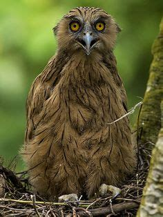 wallpaper anak burung hantu 1000 images about dieren uilen on pinterest barn owls