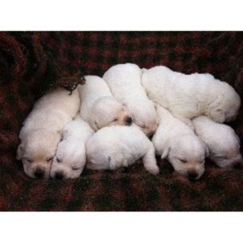 labrador puppies indiana labrador retriever lab breeders in indiana freedoglistings