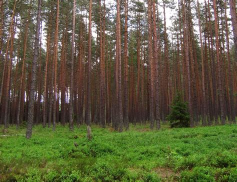 Forest L by Temperate Coniferous Forest