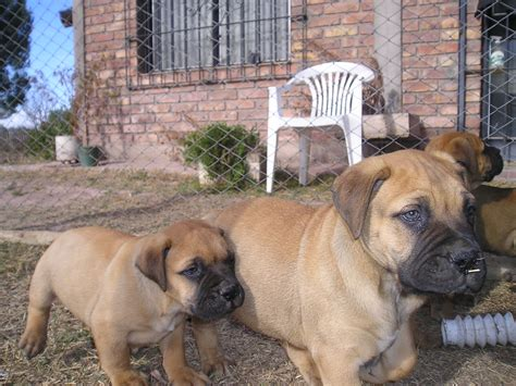 bull mastiff puppies file bullmastiff puppies jpg