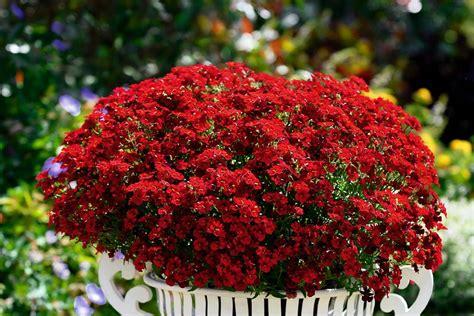 winterharte blumen die lange blühen elfenspiegel im garten f 252 r sattes rot gartentechnik de