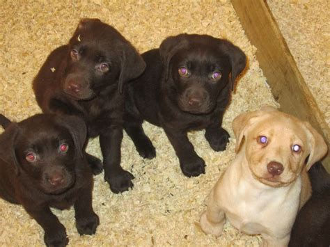 chocolate labrador puppies for sale chocolate labrador puppies for sale tavistock pets4homes
