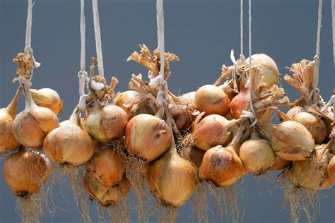 How To Store Onions From The Garden by Harvesting And Storing Onions Shallots Allotment Gardens