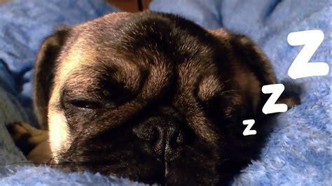 pugs snoring parkour cats compilation 2016 pug