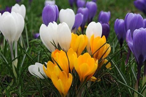fiori crocus buy large flowering crocus bulbs crocus mixed colours