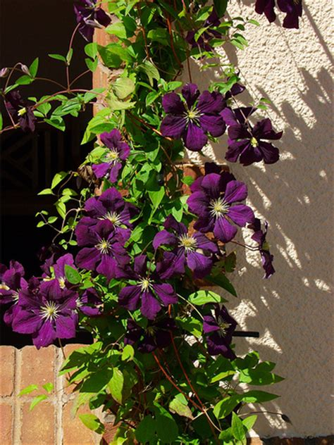climbing plant purple flowers purple climbing flowers flickr photo