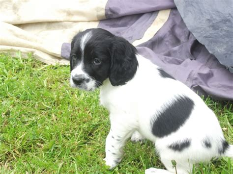 puppy black and white black and white springer spaniel breeds picture