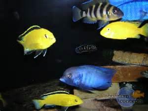 Cichlids African cichlids