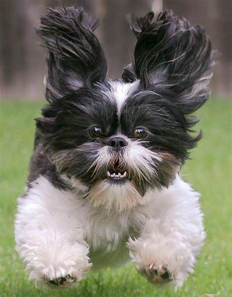 shih tzu temperament lively 15 things you didn t about shih tzus quiz