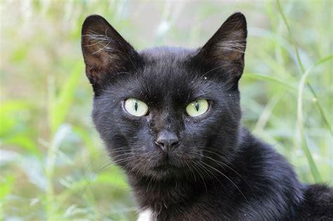 desktop wallpaper black cats black cats hd wallpapers beautiful pictures images hd