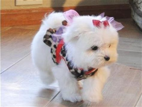 puppies for sale odessa tx maltese for sale in odessa maltese puppy for sale