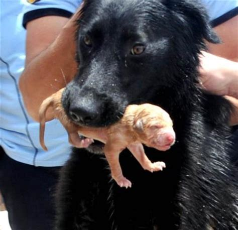 saving puppies stray momma saves puppies from drowning