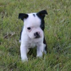 boston terrier puppies for sale in wv boston terrier wv breeds picture