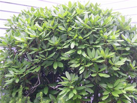 Rhododendron Giftig by Rhododendrons Pet Poison Helpline