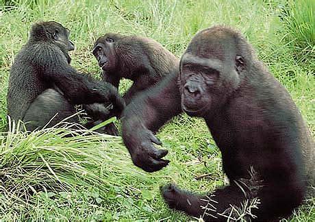 Eastern Lowland Gorillas - Facts & Habitat Information