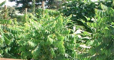 Pepaya California Hibrida budidaya katuk tanam sayuran