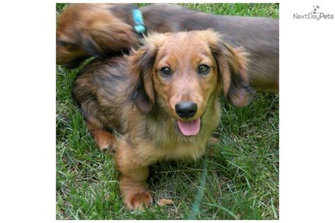 mini dachshund puppy rescue miniature silky puppies for sale image breeds picture