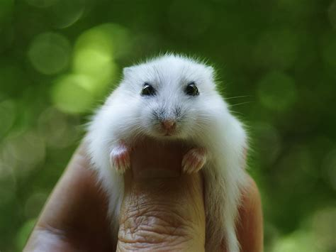 types  hamsters  pets