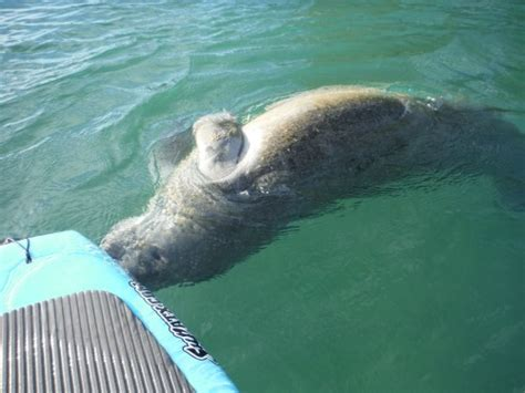 paddle board with paddle board with manatees