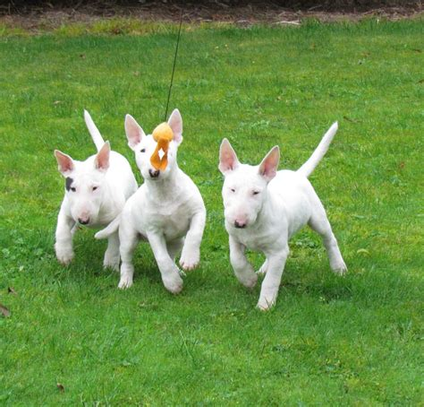 mini bull terrier puppies mini bull terrier puppies lisburn county antrim pets4homes