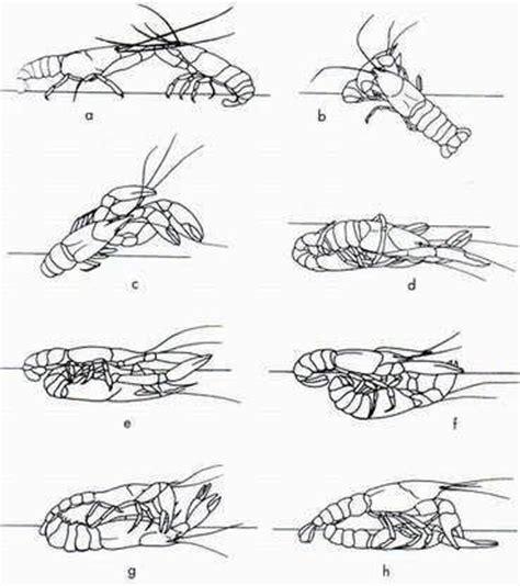 Bibit Lobster Air Tawar Medan tahapan perkawinan lobster air tawar medan lobster air