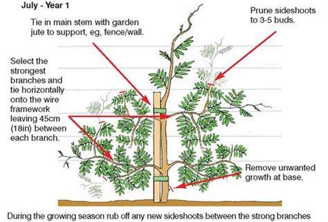 how to grow and prune wisteria aunty lils place personalised gifts for sale uk