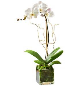 Texas Vase White Orchid Plant Scent And Violet