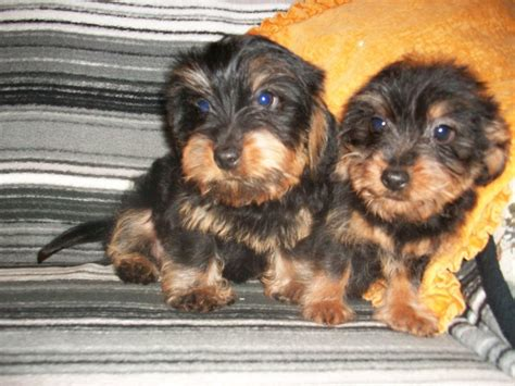 yorkie chihuahua dachshund mix 15 awesome dachshund mixes you won t believe are real