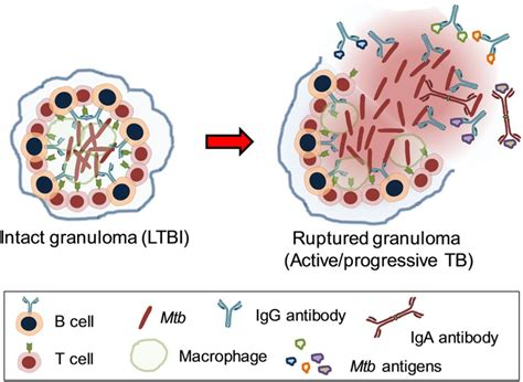 interaction of pattern recognition receptors with mycobacterium tuberculosis in situ activity of anti mycobacterium tuberculosis mtb