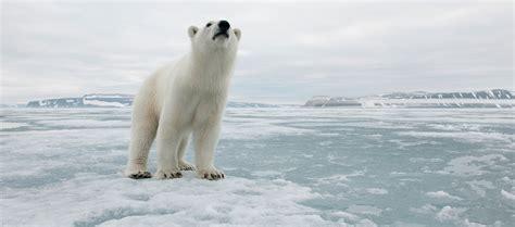 polar bear polar bear polar bear facts information polar bears international